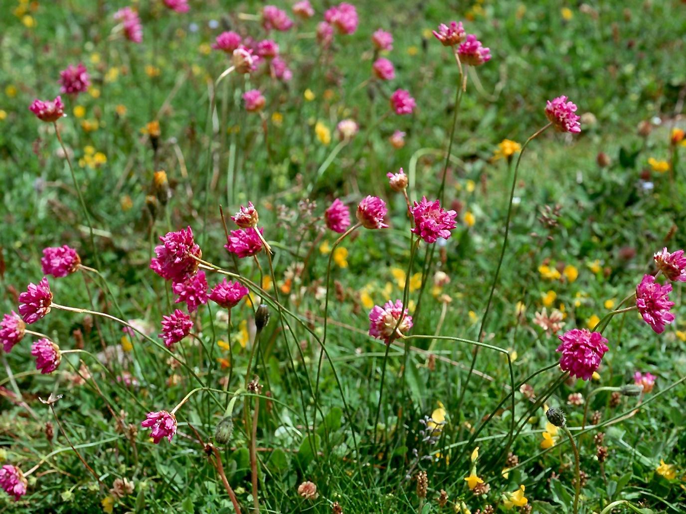 Цветок армерия фото посадка и уход в