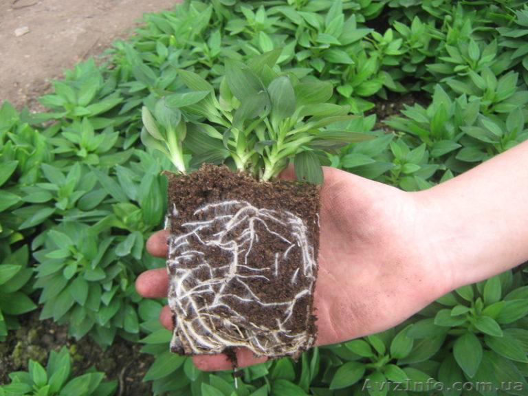 Альстромерия выращивание из семян 741