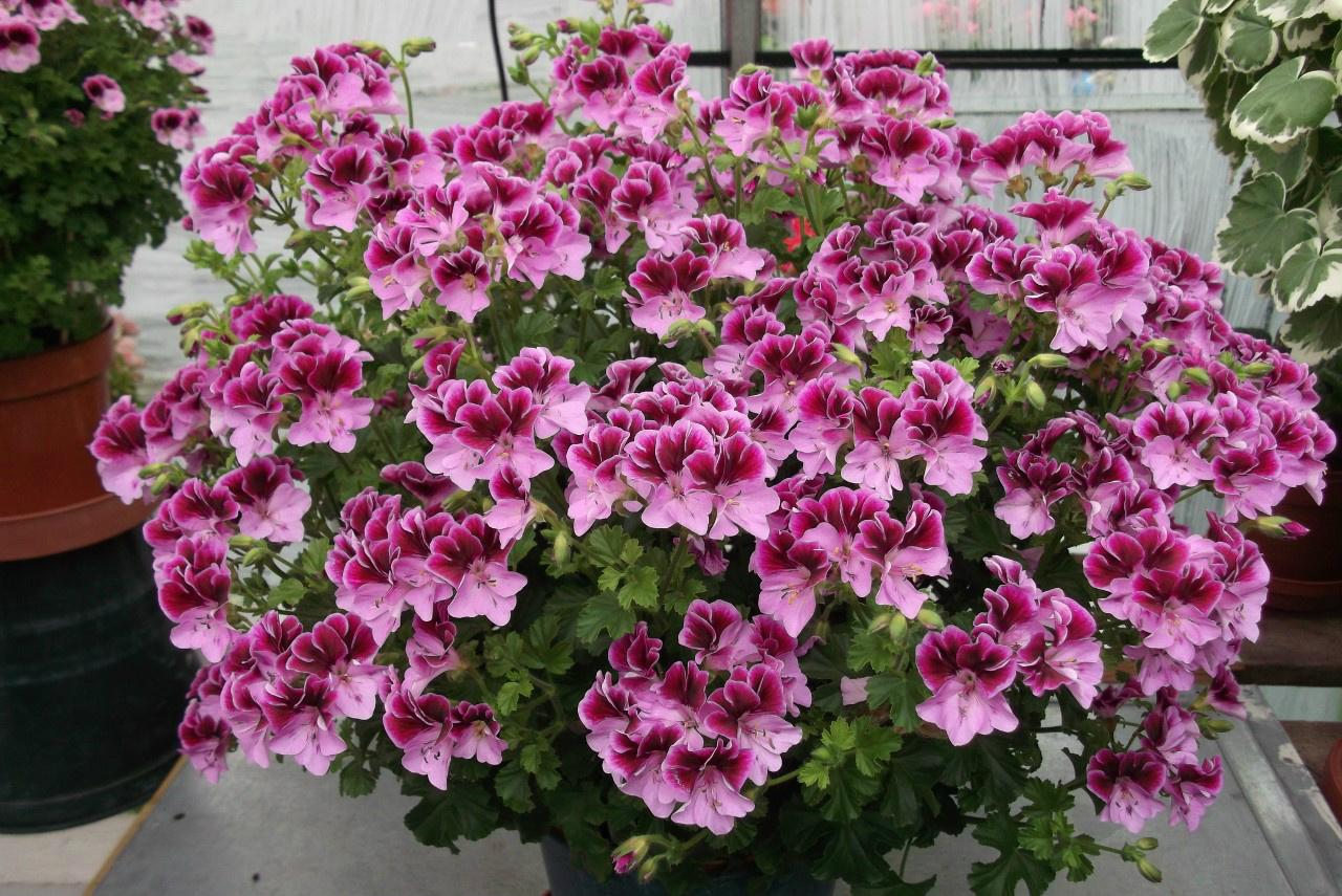 Цветы у герани какого цвета фото