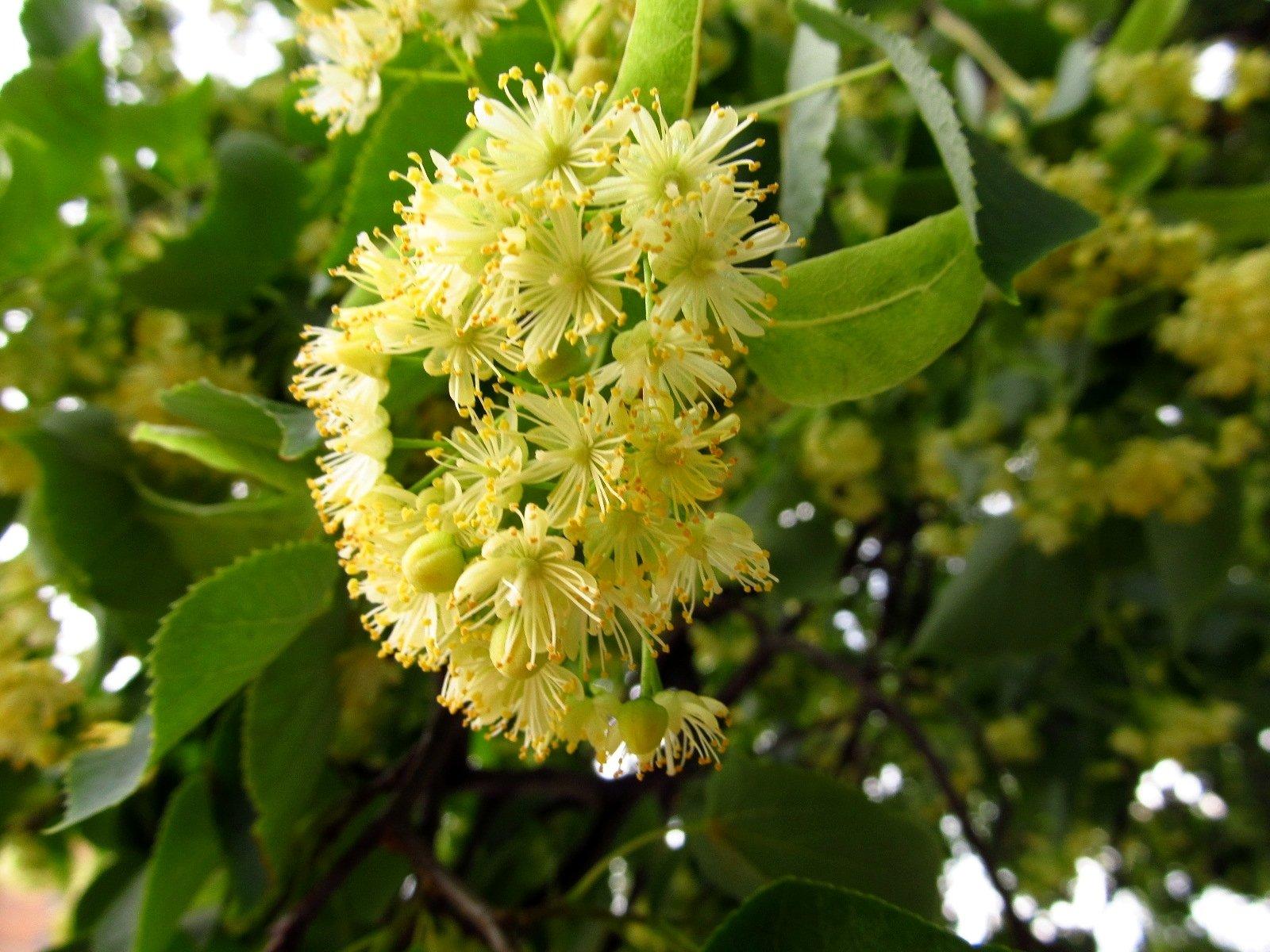 Запах липовых цветов
