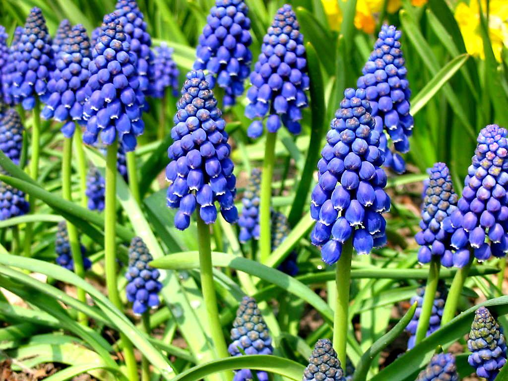 Гиацинт — цветок дождя. Посадка, уход, размножение, выращивание ... | 768x1024