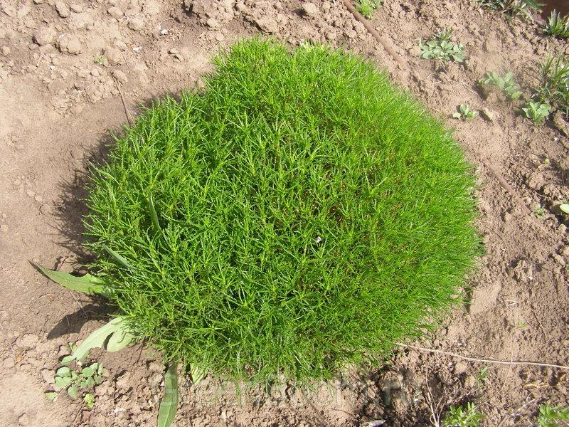 зеленоватая сантолина