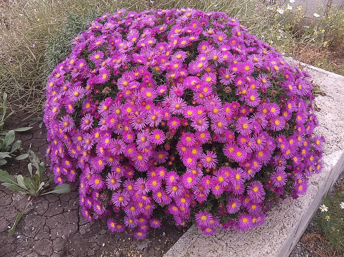 цветы сентябринки