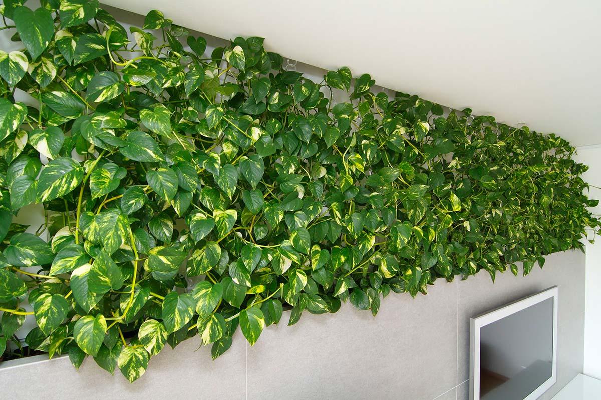 зеленая стена из сциндапсуса