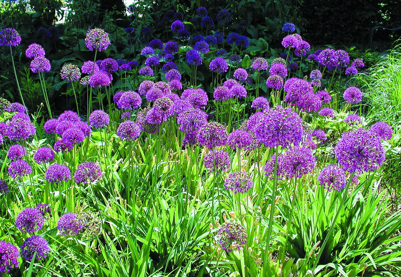Аллиум Allium aflatunense Purple Sensation