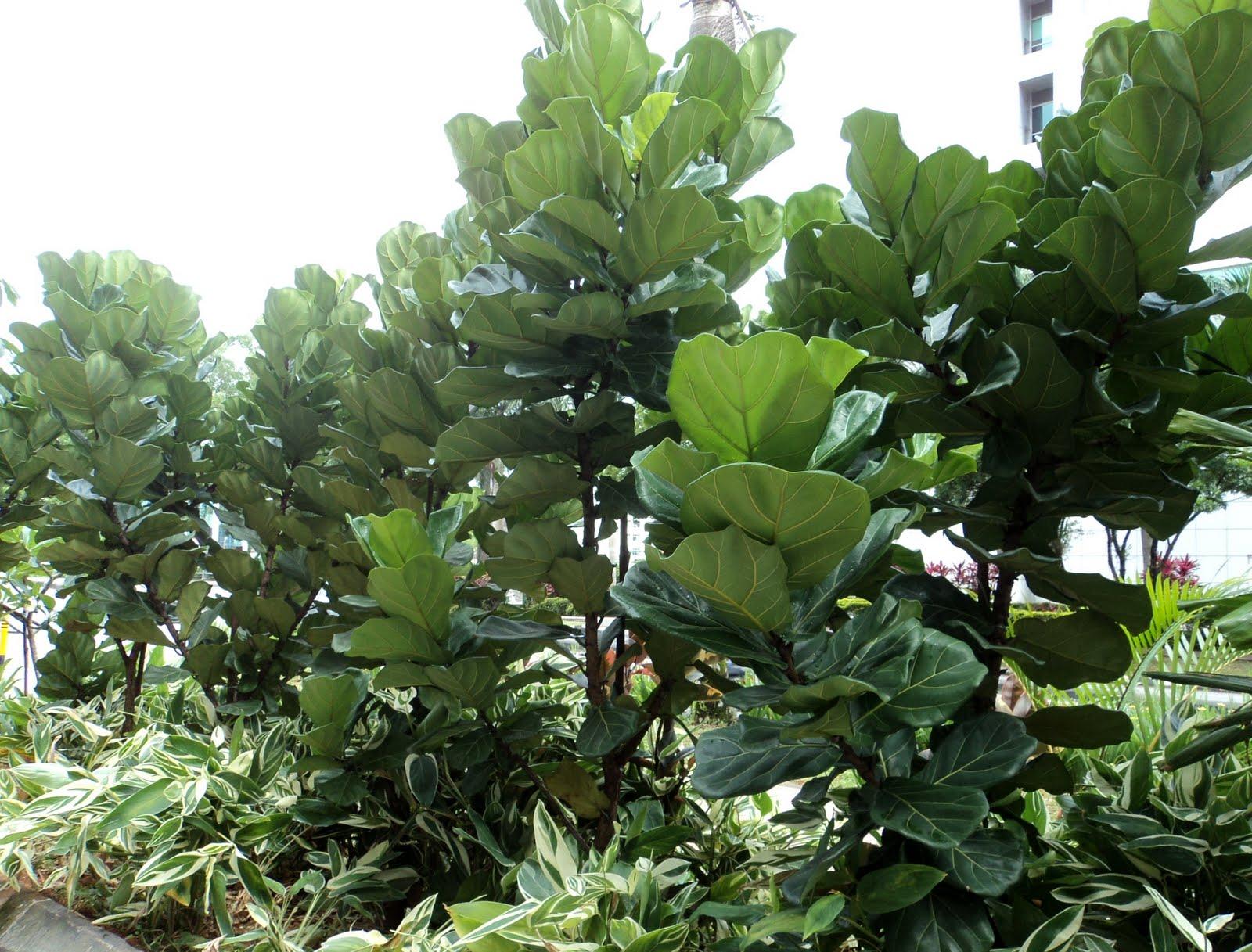 желтеют листья и фикуса