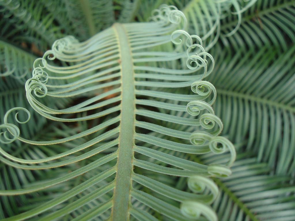 листья саговника