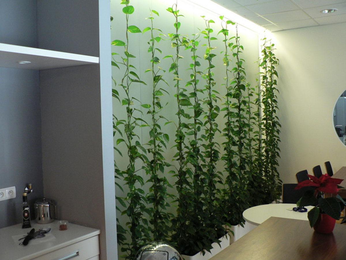 сциндапсус зеленая стена