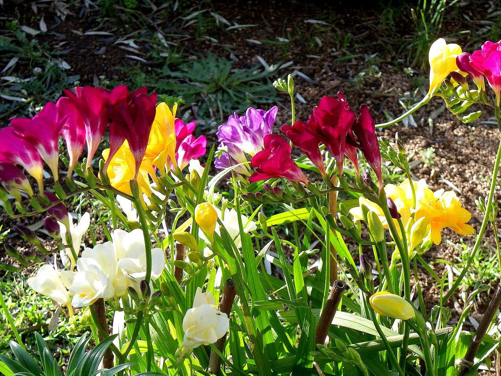 фрезия в саду