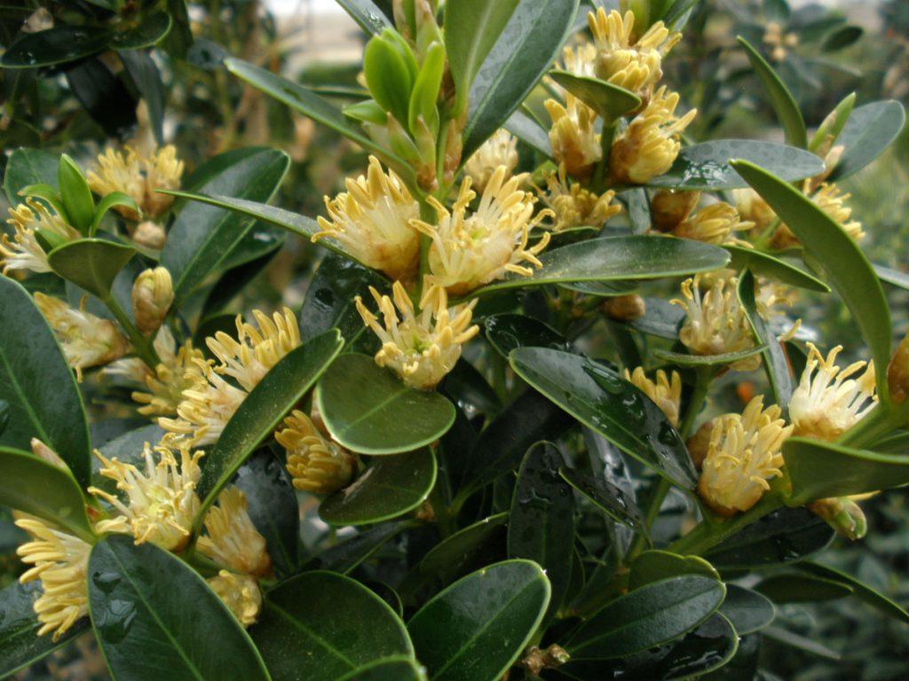 самшит Балеарский (Buxus balearica)