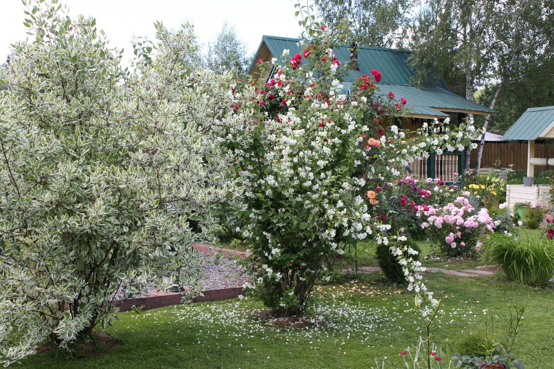 чубушник в саду