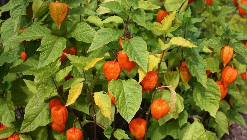 желтеют листья у физалиса