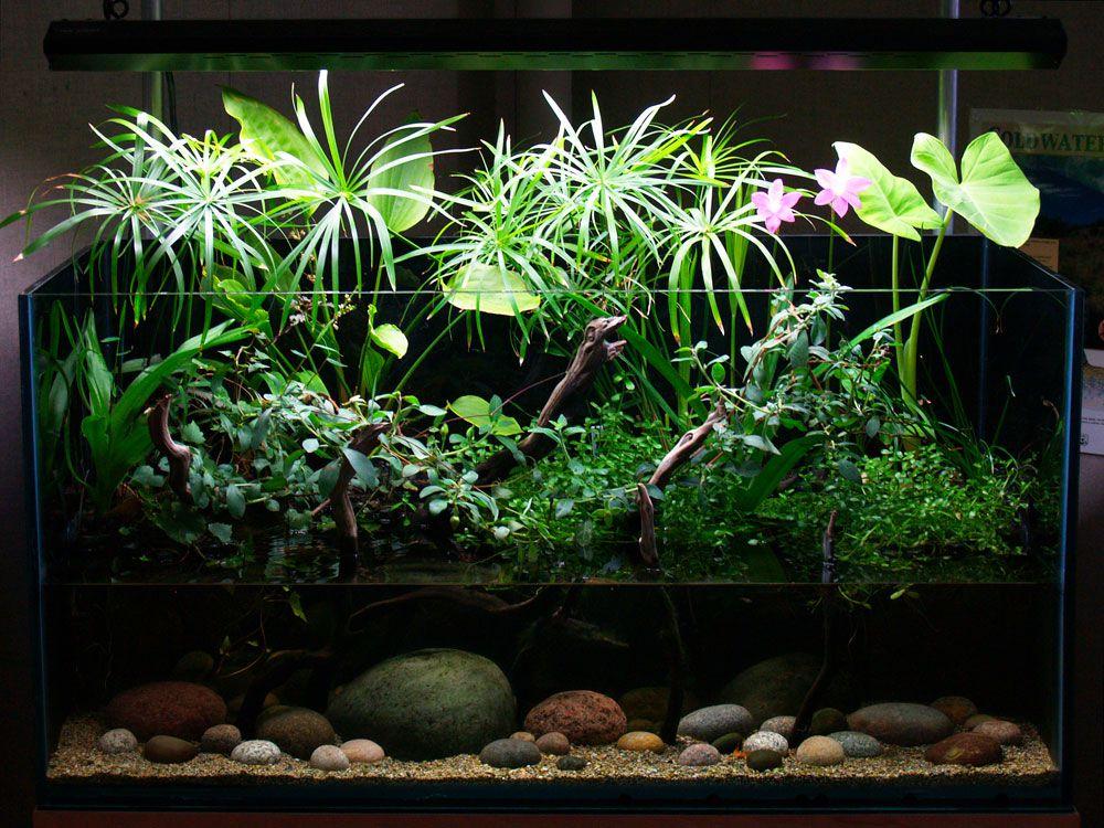 циперус в аквариуме