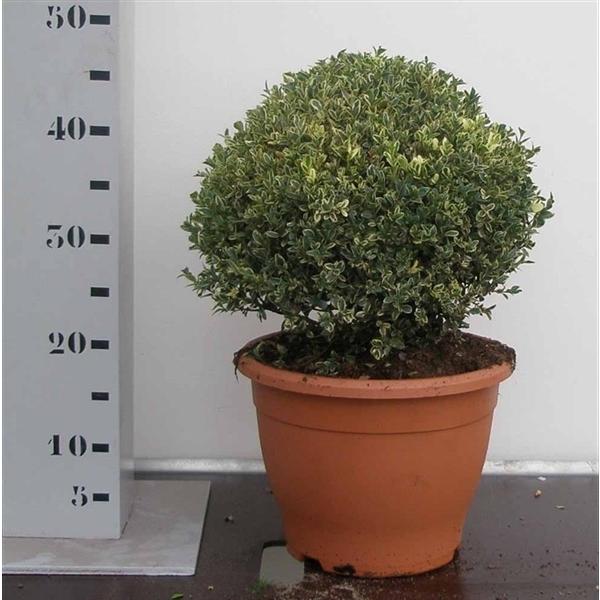 самшит вечнозелёный Элеганс (Buxus sempervirens)