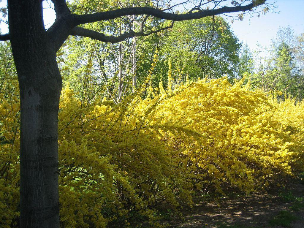 Форзиция пониклая (Forsythia suspensa)