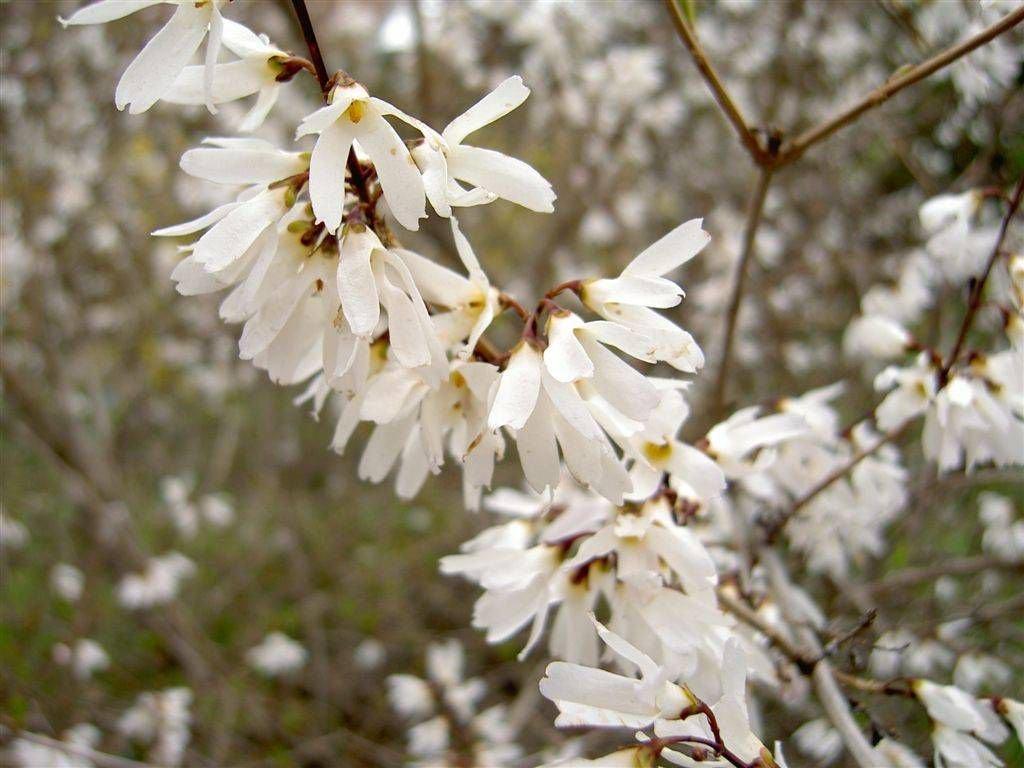 цветок снежной форзиции