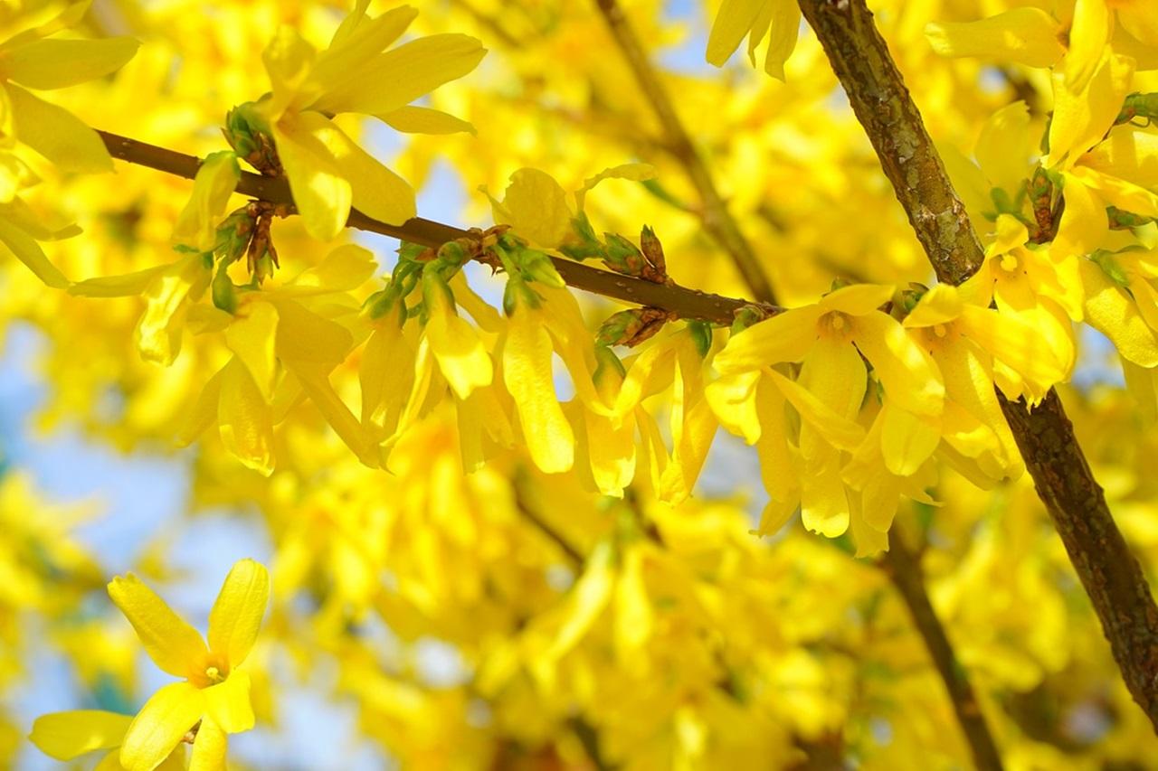 цветы форзиции яйцевидной (Forsythia ovata Nakai)