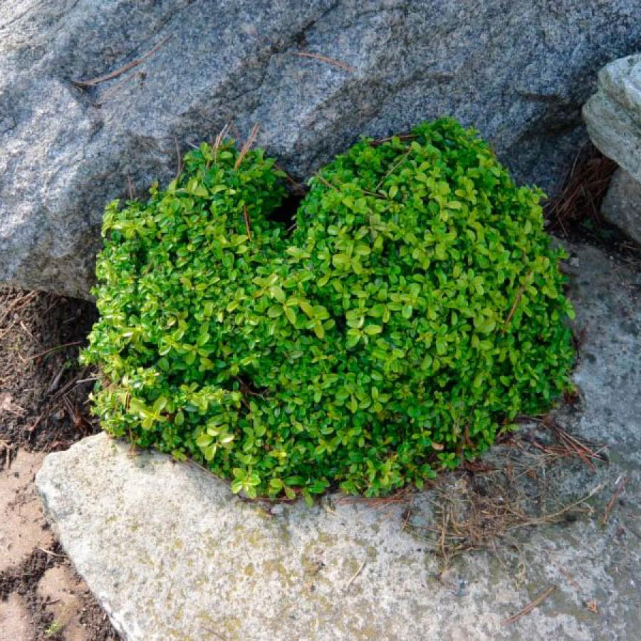 Мелколистный самшит(Buxus mikrophylla)