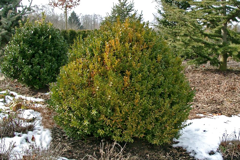 Арборесценс (Buxus sempervirens Arborescens)