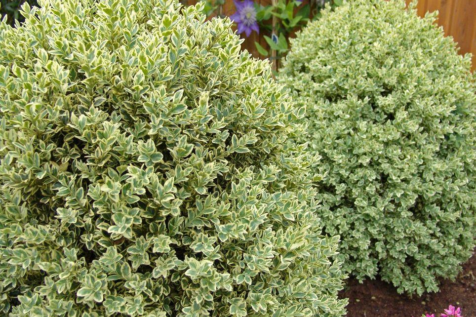 самшит вечнозелёный Ауреавариегата (Buxus sempervirens)