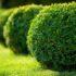 Секреты ухода и выращивания вечнозёленого самшита