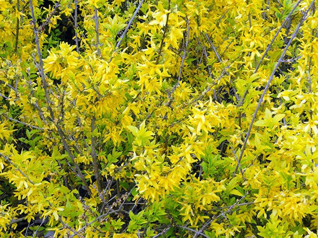 Форзиция Жиральда (Forsythia giraldiana)