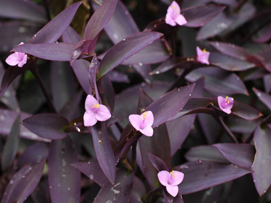 Традесканция фиолетовая