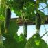 Как вырастить огурцы на балконе: секреты агротехники