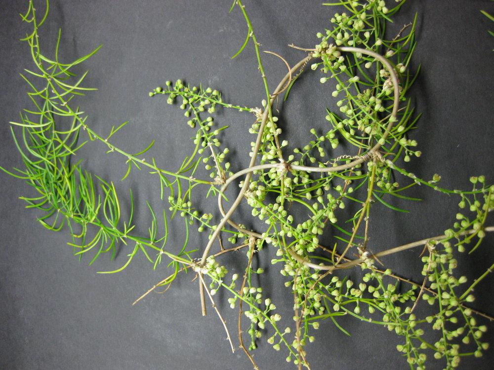 Аспарагус кистевидный (Asparagus racemosus)