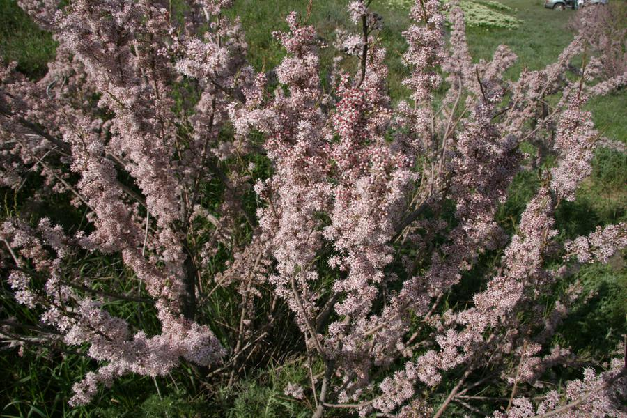 Рыхлый (Tamarixlaxa Willd)