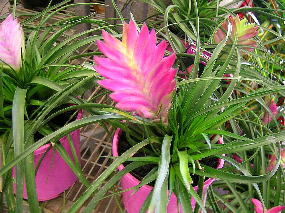 Анита (Tillandsia cyanea 'anita triflor')