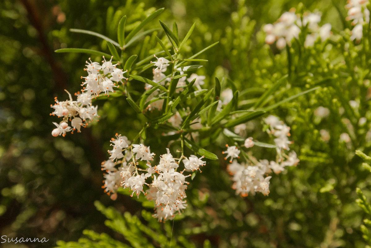 цветок аспарагуса