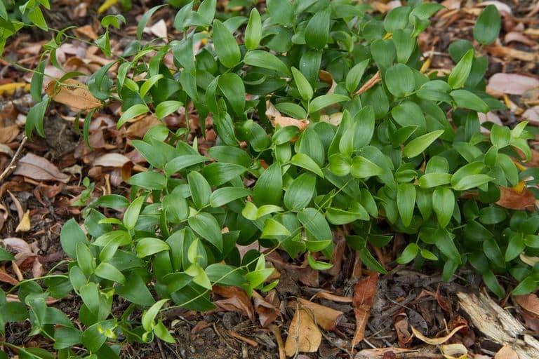 Аспарагус спаржевидный (Asparagus asparagoides)