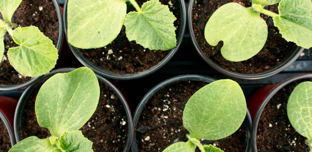 листья рассады огурцов сохнут по краям - Prakard | 500x1024
