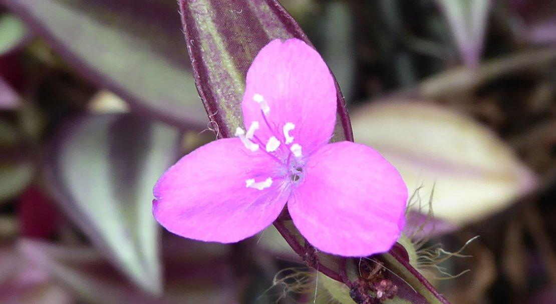 цветок зебрины