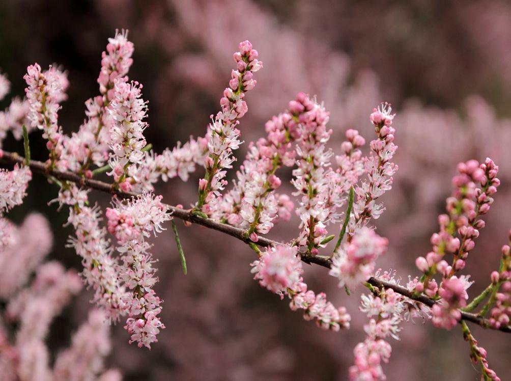 Розовый цвет тамарикса