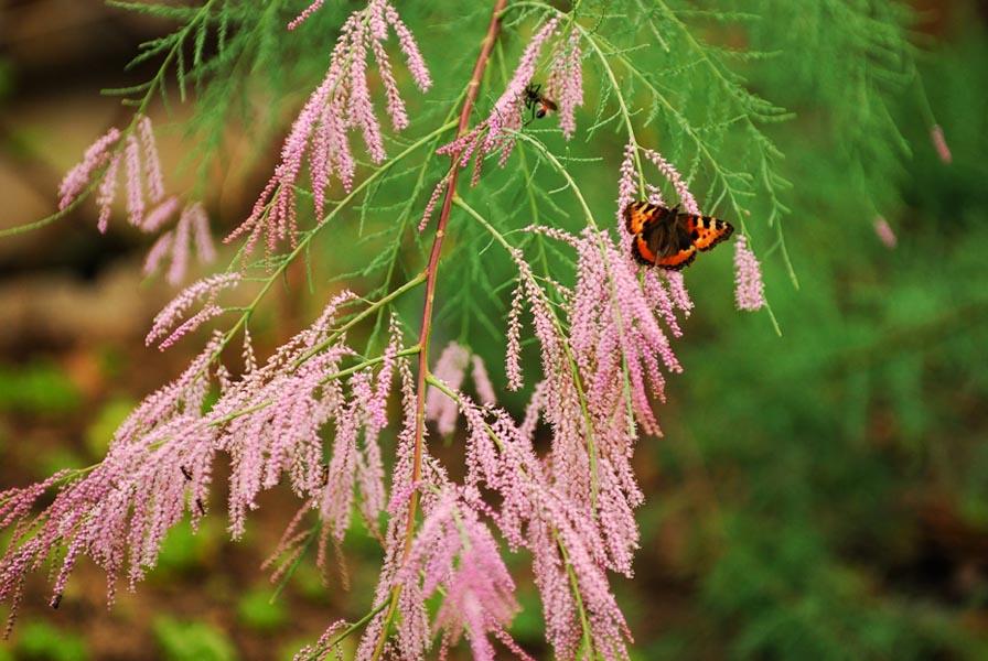 Бабочка на ветке цветущего тамарикса