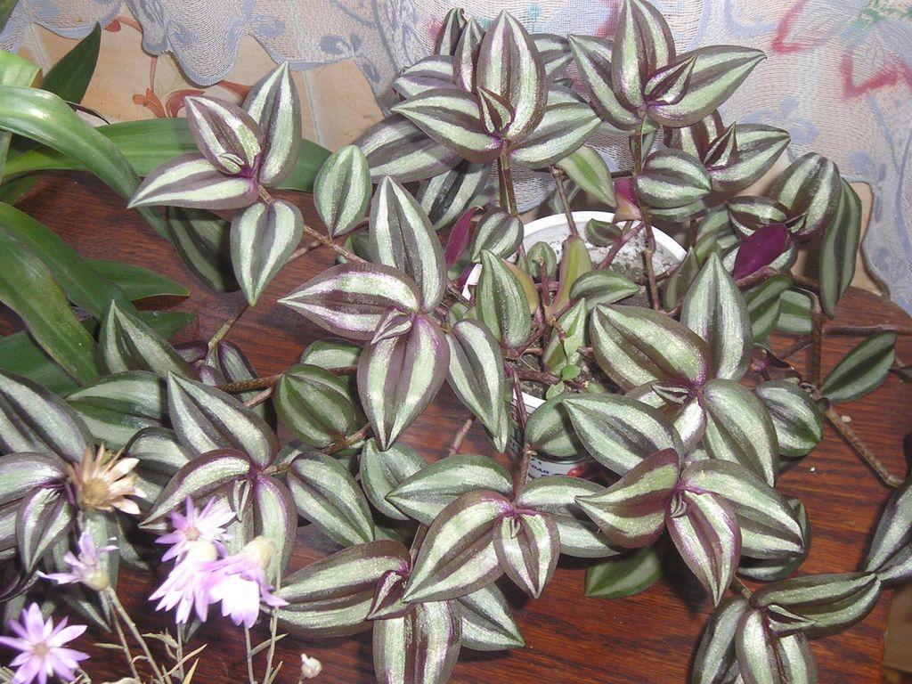Традесканция зебрина Висячая (свисающая) (Tradescantia zebrina pendula)