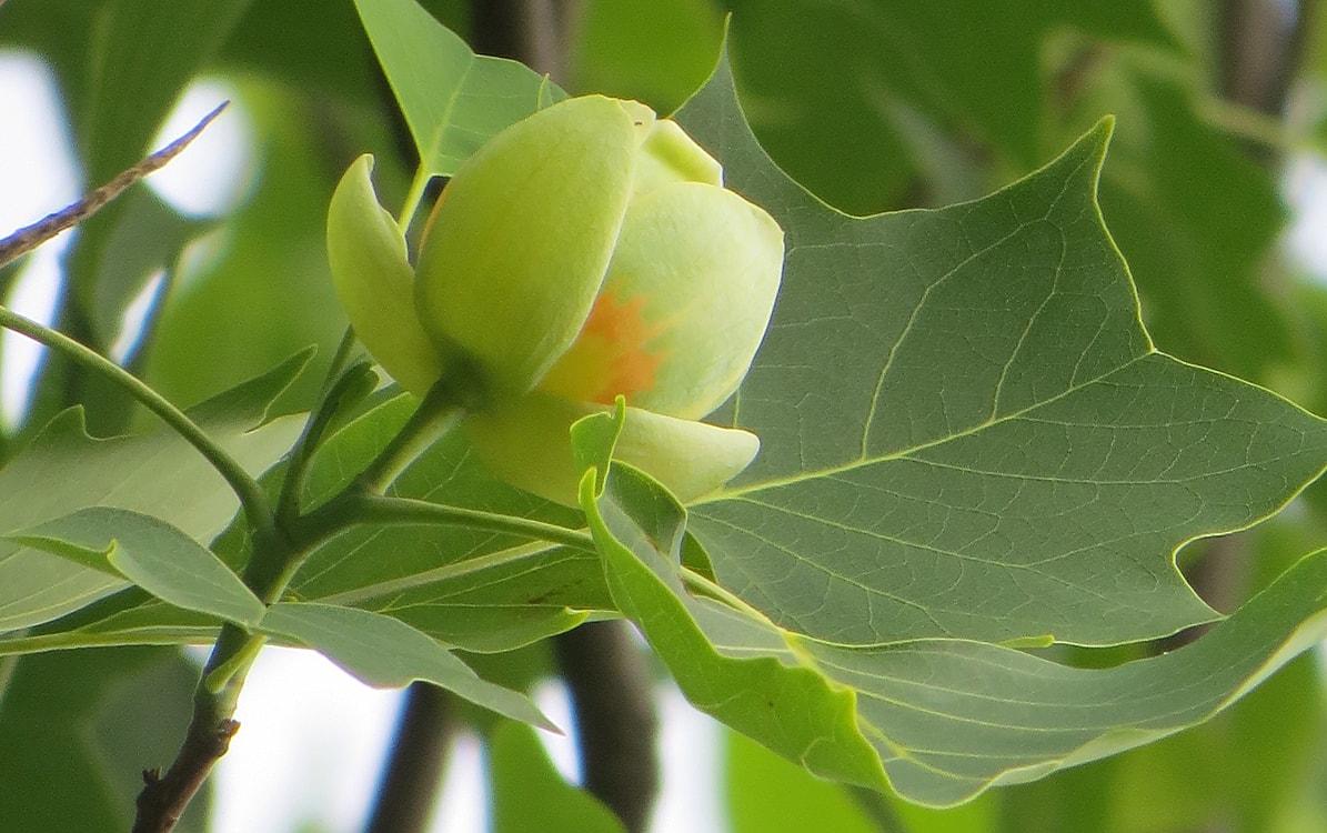 как цветет тюльпановое дерево