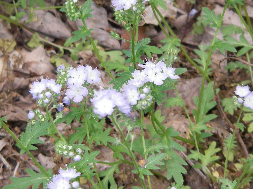 фацелия Пурша (Phacelia purshii)