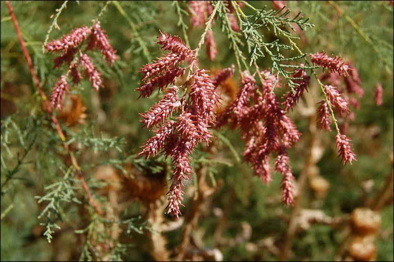 тамарикс Двудомный (Tamarix dioica)