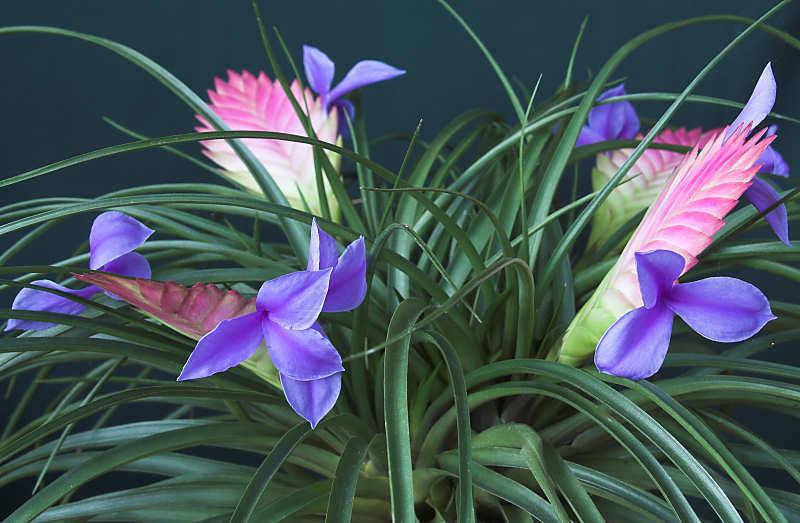 Тилландсия Синяя Цианея (Tillandsia cyanea)