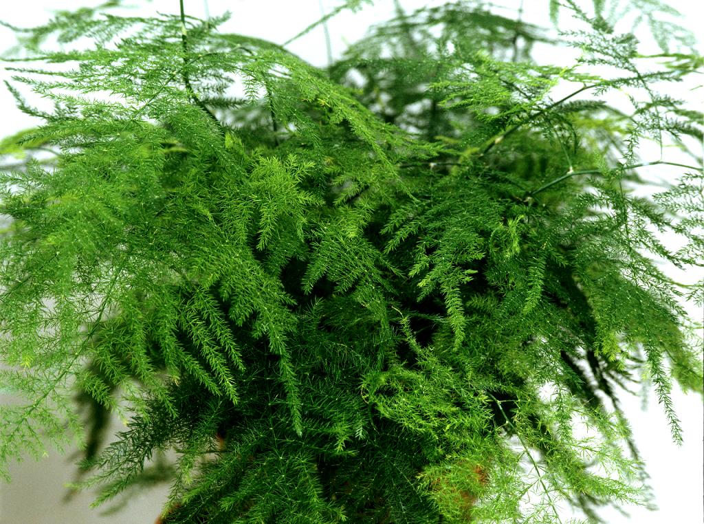 Аспарагус перистый (плюмозус) ( Asparagus plumosus)