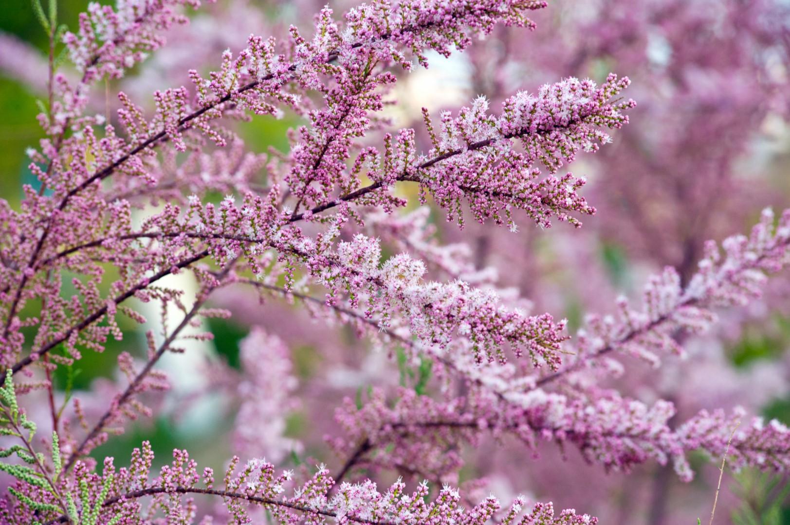Красота цветущего тамарикса