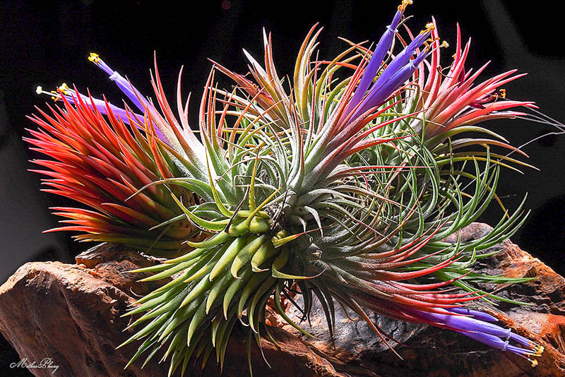 цветы тилландсии