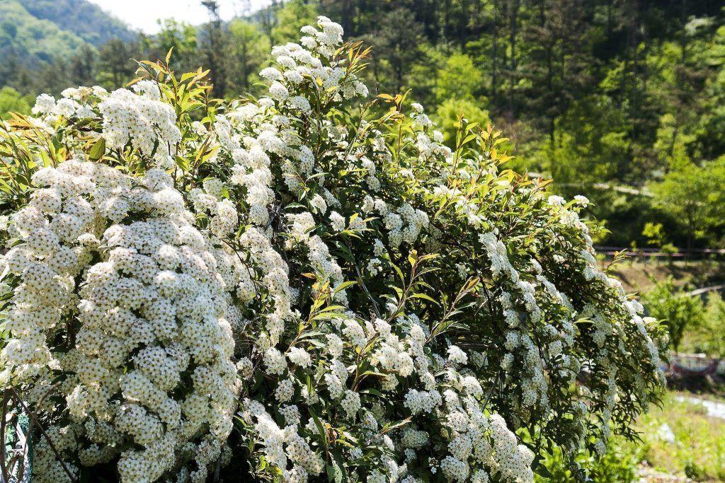 белая спирея в саду