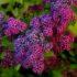 Выращивание спиреи на садовом участке — особенности ухода и размножения