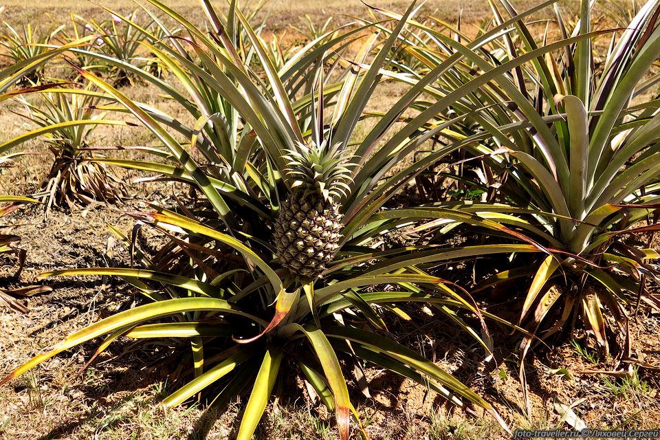 Ананас хохлатый (Ananas comosus) или бромелия крупнохохолковая