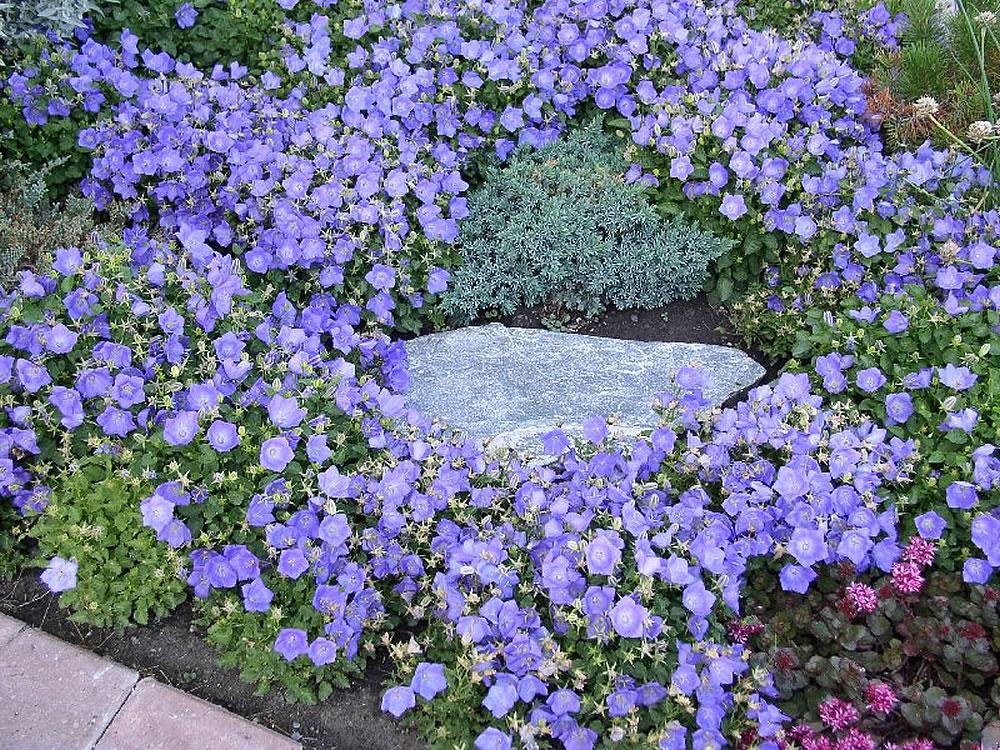 Кампанула садовая в ландшафтном дизайне
