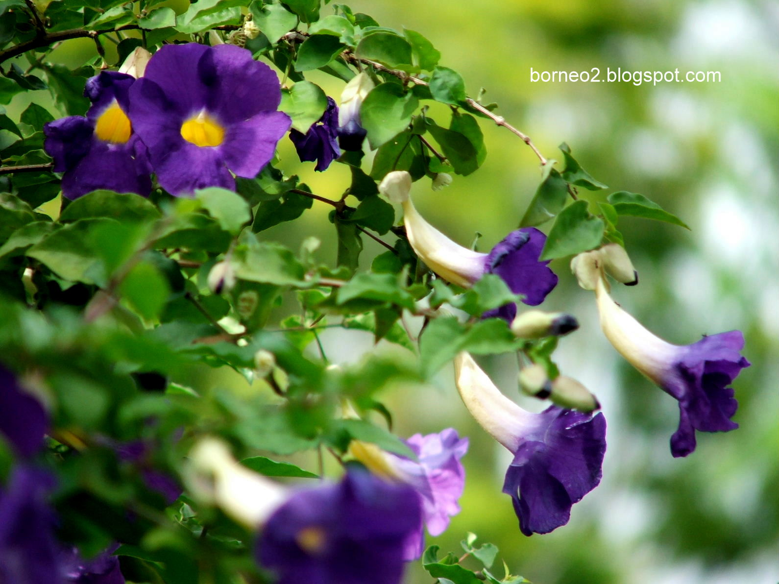 "Мантия короля (Thunbergia erecta ""King's Mantle"")"